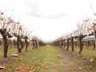 Arrival of 2013 Grapes