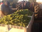 The Great Muscat Harvest