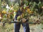 Harvest: The Heart and Soul of Winemaking